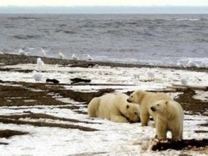 Image images/polar_bears.jpg